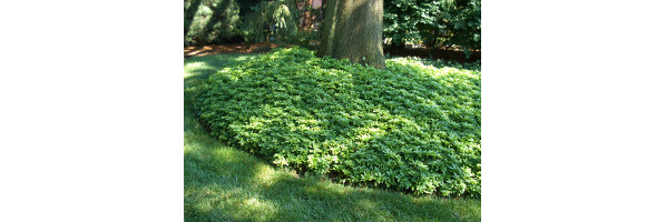 Groundcovers- More than Just Pachysandra,  Wed. April 16, at the Main Library