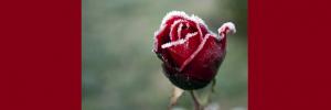 winter roses slider